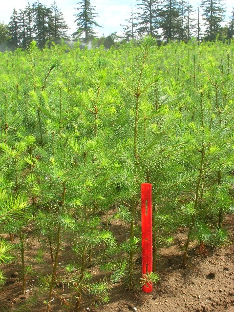 Douglas Fir 2-1 Field