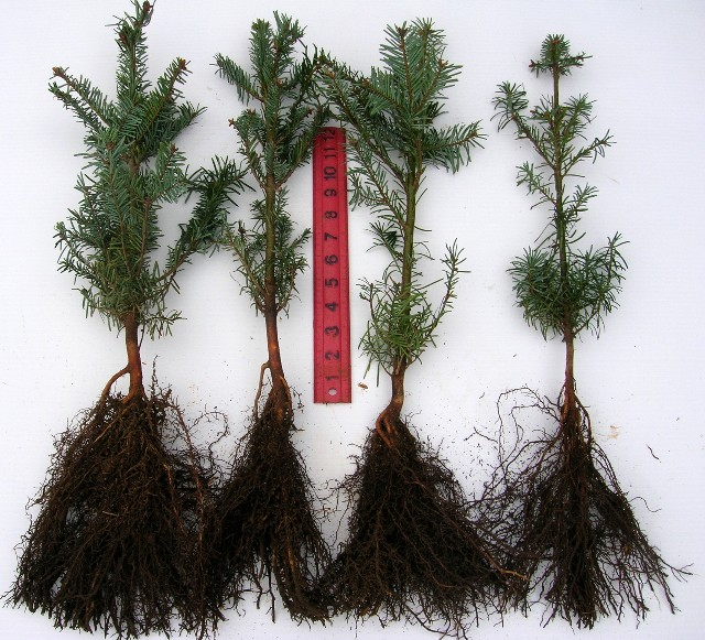 Grand Fir 2-1 Bareroot - Abies Grandis: Grand Fir (2-1) Brooks Tree Farm