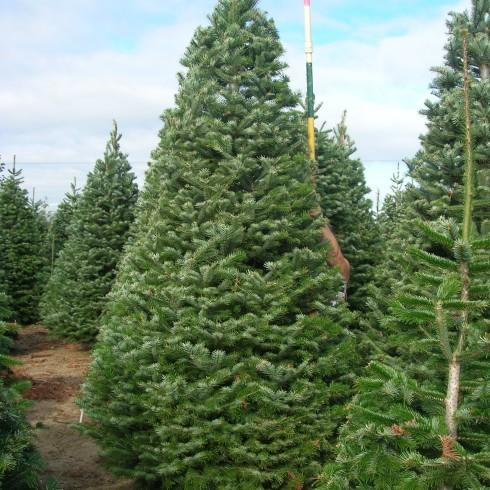 Turkish Fir Christmas Tree