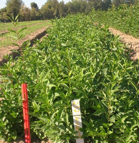 Twinberry Field