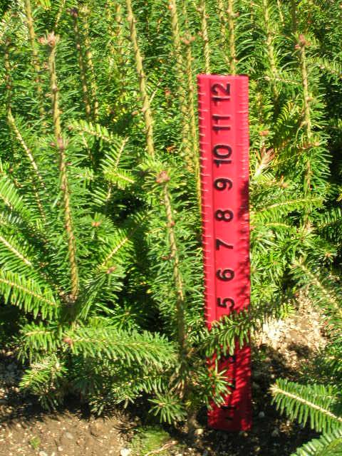Abies Fraseri Fraser Fir 3 0 Brooks Tree Farm