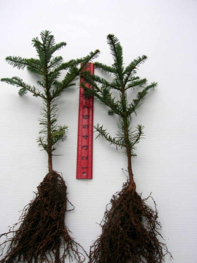 Brooks Tree Farm Bare Root Seedling Guidelines