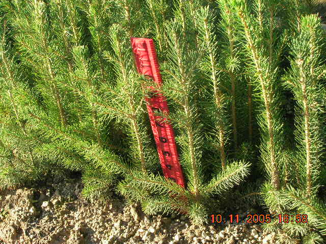 Norway Spruce 2-0 Field