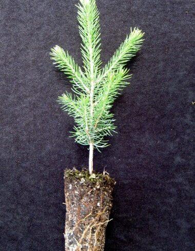 Norway Spruce Plugs