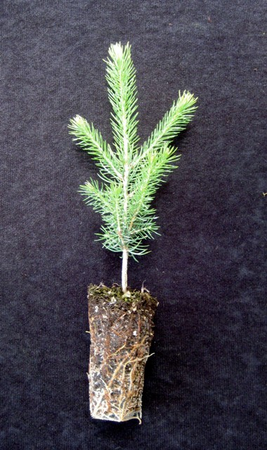 Norway Spruce Plugs