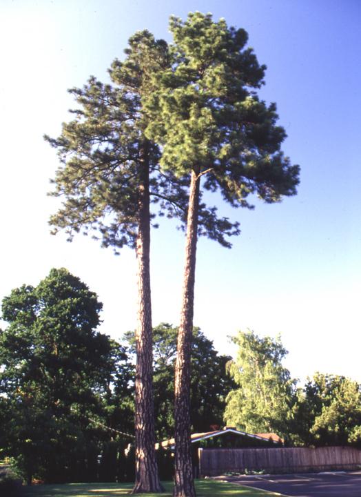 Pinus ponderosa: Ponderosa Pine, Willamette Valley (2-0 ...