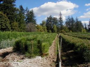 Ponderosa Pine 2-0 Field   Brooks Tree Farm