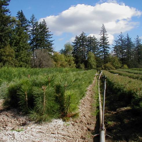 Ponderosa Pine 2-0 Field