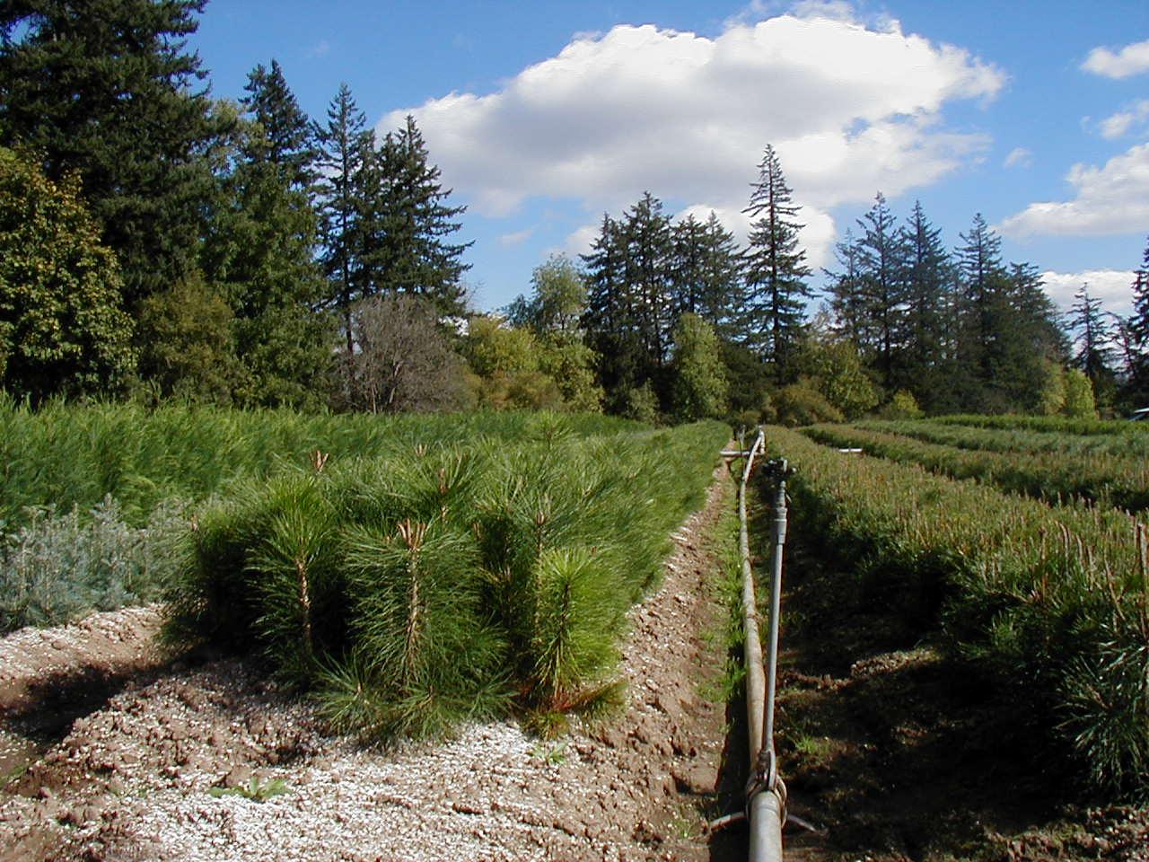 pinus ponderosa ponderosa pine willamette valley 2 0 06 12 brooks tree farm. Black Bedroom Furniture Sets. Home Design Ideas