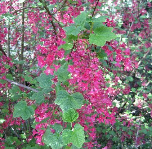 Mature Red Flowering Currant