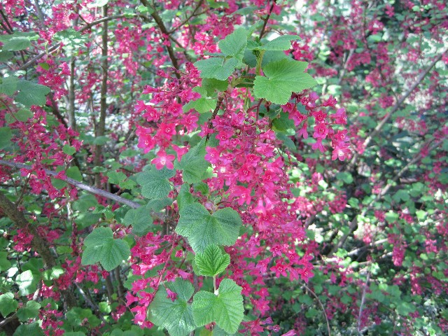 Mature Red Flowering Currant