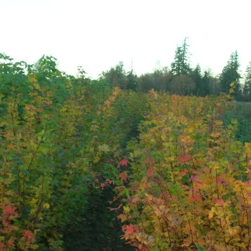 Vine Maple Field