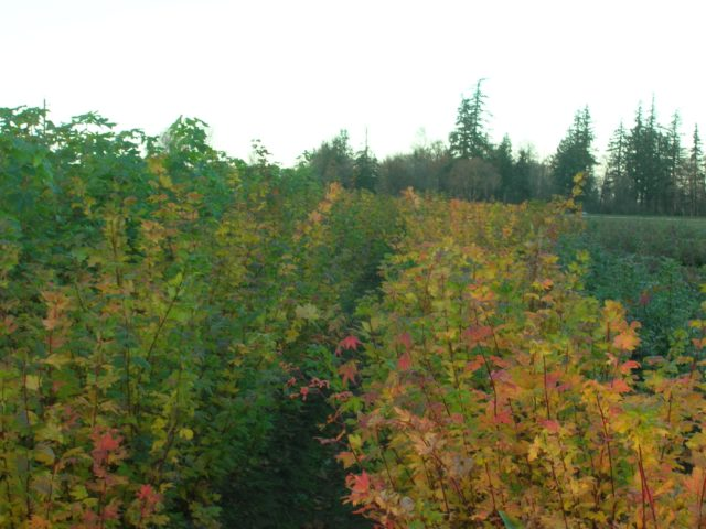 Vine Maple Field