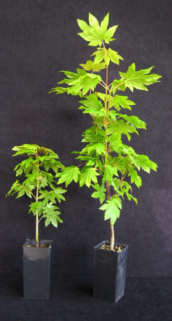 Acer Circinatum  Vine Maple  Band Pot